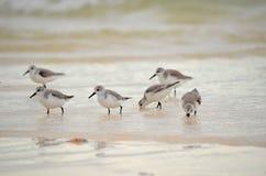 搜寻在岸的食物的幼小海鸥在古巴 库存照片