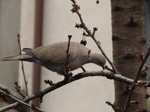 搜寻在樱桃树分支的鸽子 库存图片