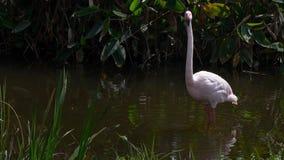 搜寻在水的慢动作更加伟大的火鸟食物 Phoenicopterus roseus 影视素材