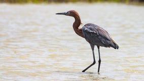 搜寻在沿海水域的食物,墨西哥湾得克萨斯的苍鹭 免版税库存照片