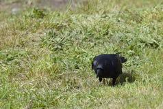 搜寻在草的美国乌鸦 免版税库存图片