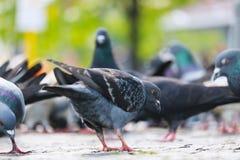 搜寻在路面的小组鸽子在阳光下在一个模糊的都市场面前面在柏林 库存照片