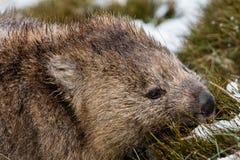 搜寻在雪的温伯特在摇篮山国家公园,塔斯马尼亚岛 免版税库存照片