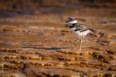 搜寻在马默斯斯普林斯的矿物形成的双胸斑沙鸟小鸡 免版税库存照片