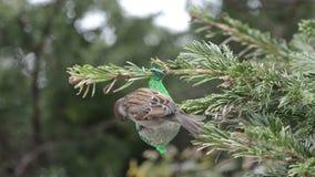 搜寻在鸟油脂球的麻雀种子 影视素材