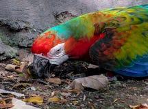 搜寻地面的金刚鹦鹉在鸟舍 图库摄影