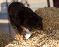 搜寻干草的澳大利亚牧羊人鼠 库存图片
