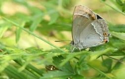 搜寻湿气的惊人的紫色翅上有细纹的蝶蝴蝶Favonius栎属深深下来在地面上的下木 库存图片