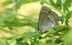 搜寻湿气的惊人的紫色翅上有细纹的蝶蝴蝶Favonius栎属深深下来在地面上的下木 免版税图库摄影