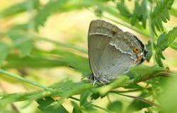 搜寻湿气的惊人的紫色翅上有细纹的蝶蝴蝶Favonius栎属深深下来在地面上的下木 图库摄影