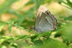 搜寻湿气的惊人的紫色翅上有细纹的蝶蝴蝶Favonius栎属深深下来在地面上的下木 库存照片