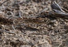 搜寻食物的一条美丽的布朗大草原响尾蛇 库存图片