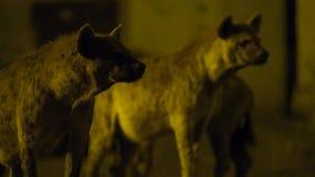 搜寻食物的一条被察觉的野生鬣狗在哈勒尔附近城市边界清除在埃塞俄比亚 库存照片