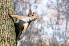 搜寻食物的好奇灰鼠坐被弄脏的backgroun 图库摄影