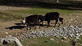 搜寻食物的家畜 影视素材