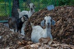 搜寻食物的小组三只山羊  图库摄影