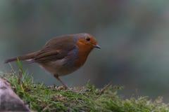 搜寻食物的欧洲知更鸟 免版税图库摄影