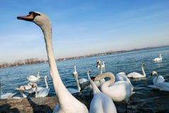搜寻食物的美丽的白色天鹅在河附近 免版税图库摄影