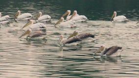搜寻食物的鹈鹕分谴舰队在湖 股票视频