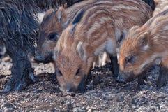 搜索年轻人的公猪食物 免版税库存照片