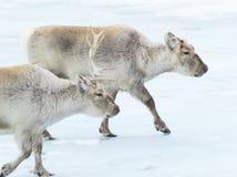 搜索斯瓦尔巴特群岛的食物驯鹿通配 库存图片