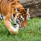 搜索某事的孟加拉老虎在草 免版税图库摄影