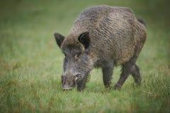 搜寻下落的橡子的野猪 免版税库存照片