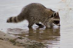 搜寻为食物的浣熊 免版税图库摄影