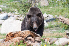 搜寻为食物的Grizzley熊 库存图片