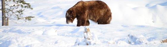 搜寻为食物的Grizzley熊 免版税图库摄影