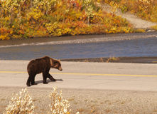 搜寻为食物的Grizzley熊 库存照片