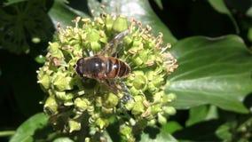 搜寻在一朵常春藤花的食物的蜂在10月 股票录像