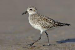 搜寻在佛罗里达海滩的黑鼓起的珩科鸟 免版税图库摄影