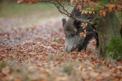 搜寻在山毛榉树下的一个野公猪 库存照片