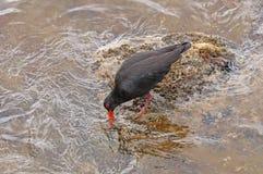 搜寻在岩石海岸的食物的易变的蛎鹬 免版税库存照片