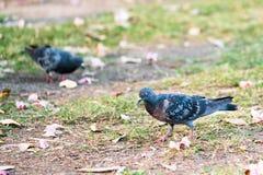 搜寻在庭院地面的食物,在正确一个的选择聚焦的两只鸽子 免版税库存图片