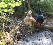 搜寻在庭院里的两只母鸡 库存图片