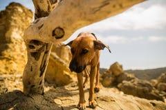 搜寻在日志下的Rhodesian Ridgeback狗 免版税图库摄影