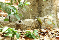 搜寻在树树干的白发啄木鸟食物  库存照片
