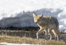 搜寻在河附近的土狼在黄石在冬天 免版税图库摄影