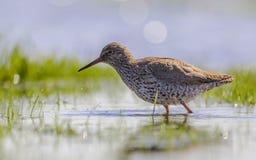搜寻在沼泽地的共同的赤足鹬 库存图片