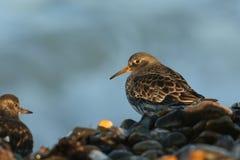 搜寻在海岸线的食物的紫色矶鹞Calidris maritima几天阳光的为时的 免版税库存图片