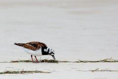 搜寻在海滩的翻石鹬 免版税库存图片