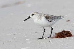 搜寻在秋天的一个海滩-佛罗里达的三趾滨鹬 免版税库存照片