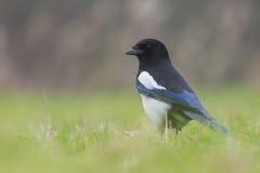 搜寻在草的共同的鹊 免版税图库摄影