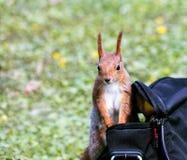 搜寻在袋子的食物的小的红松鼠在被弄脏的绿色g 免版税库存图片