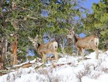 搜寻在雪的两只长耳鹿 免版税库存图片