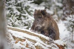 搜寻在雪的野公猪 图库摄影