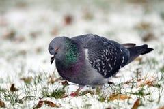 搜寻在雪的鸽子食物 免版税库存图片