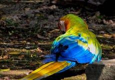 搜寻地面的金刚鹦鹉在鸟舍 免版税库存照片